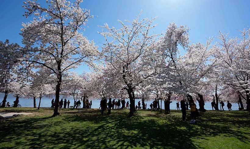 Cherry-blossom-season-in-DC